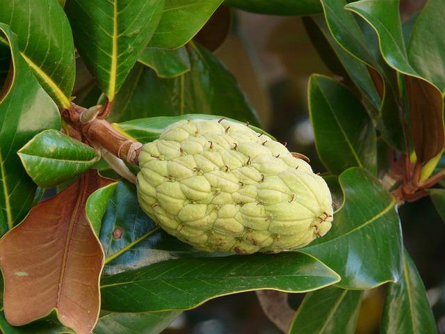 plod gumovníku